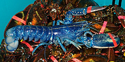Bright blue lobster